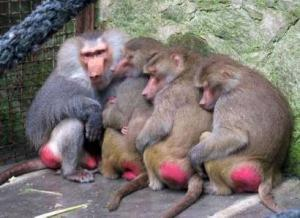 red-ass-monkeys4